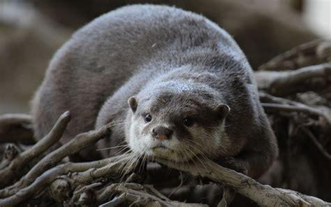 Aquatic Animals Wallpapers - desktop wallpaper otter aquatic animal rodent hd