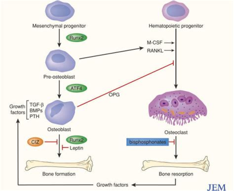 cells and ligands in skeletal remodeling interactions