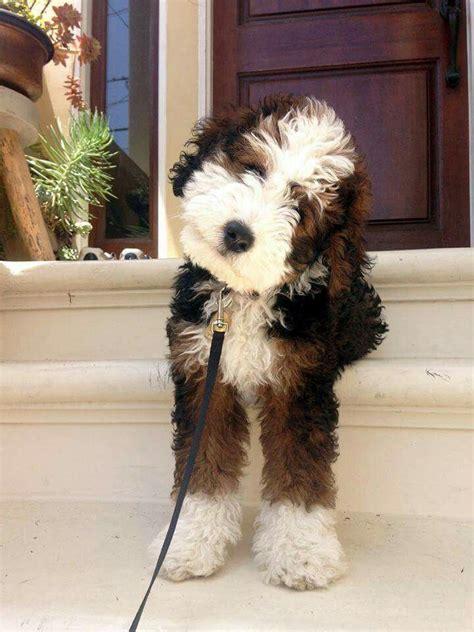 mini bernedoodle poodle mix