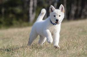 The Husky Shepherd Mix: Is This Hybrid Right For Your Family?