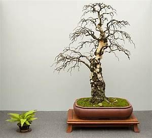 hai yama ten 2015 betula pendula sandbirke more With französischer balkon mit zen garten miniatur zubehör