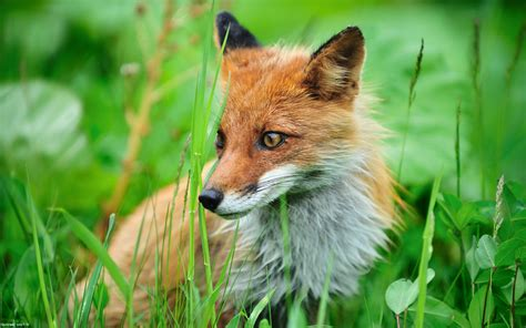 Fox Animal Wallpaper - animals fox grass wallpapers hd desktop and mobile