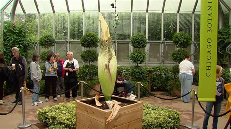 corpse flower lacks energy to bloom says chicago