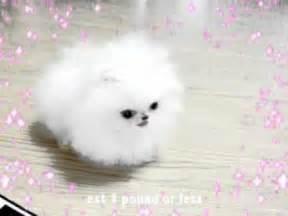 World's Smallest Full-Grown Dog