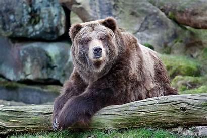 Grizzly Bear Horribilis Cz Nature Naturephoto Wildlife