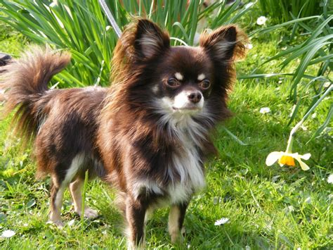 chocolate kc reg chihuahua long haired pudsey west