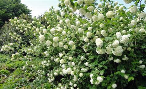 Schneeball Pflanzen, Pflege Und Tipps  Mein Schöner Garten