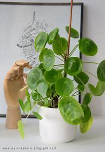 Pilea Pflanze Kaufen : pilea peperomioides chinesischer geldbaum gl ckstaler ~ Michelbontemps.com Haus und Dekorationen