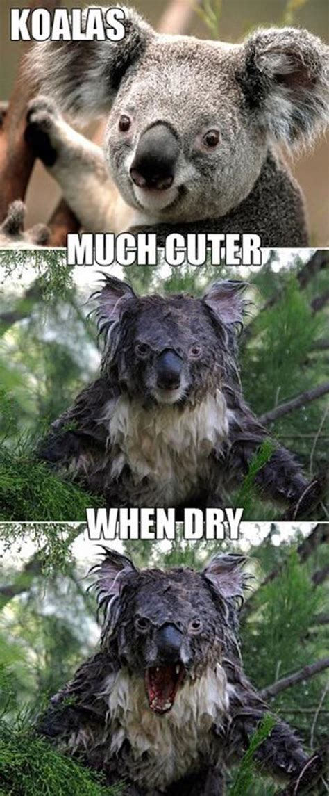 Angry Koala Meme - a wet koala