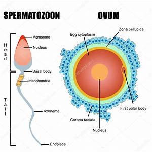 Ovum Diagram Gallery
