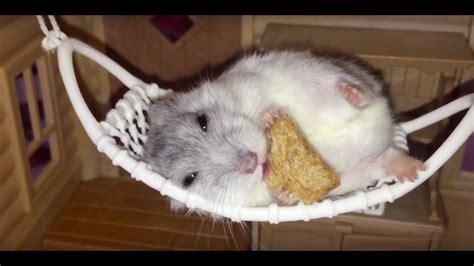 Hamster Hammock hamster on a tiny hammock animal