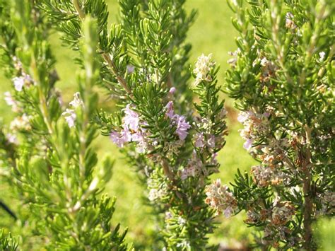 rosemary plant care rosemary rosmarinus officinalis monthly plant care reminders