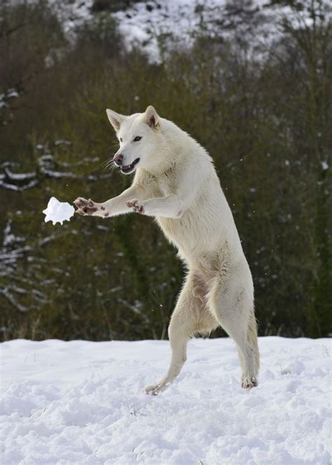 psbattle  northern inuit   catch  snowball