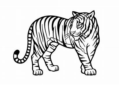 Coloring Tiger Animal Pages Popular Ages