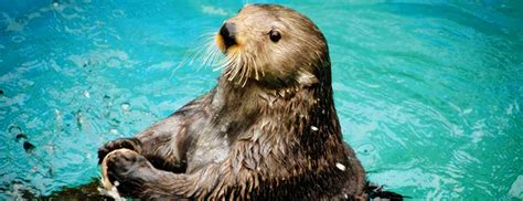facts  sea otters