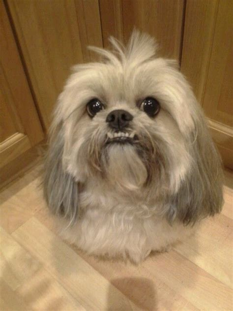 zoey lhasa apso my cutie pies pinterest funny