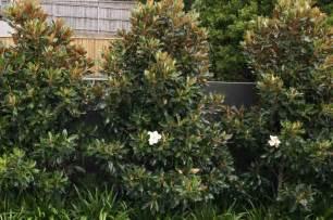 magnolia shrub varieties magnolia grandiflora little gem or teddy bear dwarf varieties make beautiful evergreen