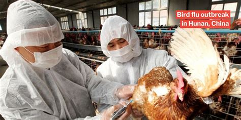 Bird flu is everywhere because influenza itself is a fundamentally avian disease. H5N1 Bird Flu Kills 4,500 Chickens As China Fights Wuhan Virus, No Human Infections Reported Yet