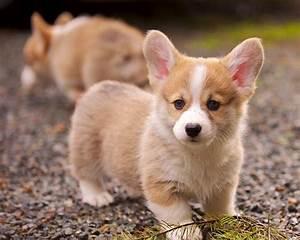 Cardigan Welsh Corgi Puppies, Cute Dog Pictures, Dog Photos