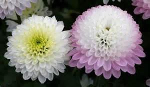 Mum Chrysanthemum Flower