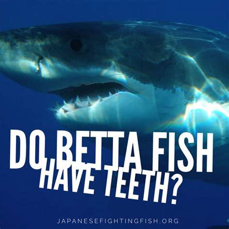betta fish  teeth japanese fighting fish
