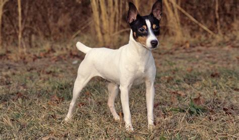 rat terrier sheds much fox terrier breed information