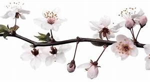 Fleur De Cerisier Signification : fleur ~ Melissatoandfro.com Idées de Décoration