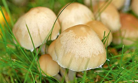 Pilze Im Rasen Anzeichen by Pilze Im Rasen Rasenpflege Selbst De
