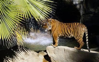 Pantalla Tiger Tigres Fondo Wallpapers Fondos Imagenes