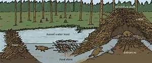 Diagram Of Dam Building : all about structures a beaver dam ~ A.2002-acura-tl-radio.info Haus und Dekorationen
