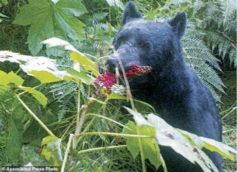 bear    alaska woods disperse seeds