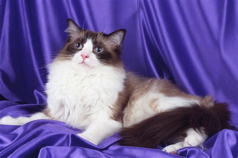 Ragdoll Cute Cats | Cute Cats