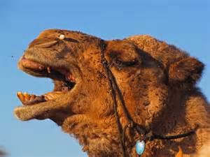 Simpson Desert Animals