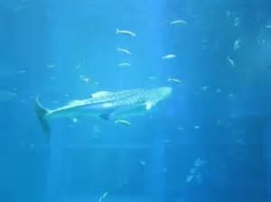whale shark picture of osaka aquarium kaiyukan osaka tripadvisor
