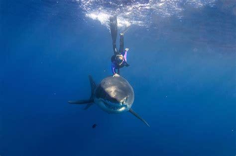 avanti water ramsey nuotare con il grande squalo bianco