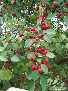 Baum Mit Roten Beeren : vielbl tige zwergmispel cotoneaster multiflorus rote fr chte bestimmen vielbl tige zwergmispel ~ Markanthonyermac.com Haus und Dekorationen