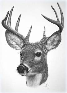 Drawing of a White-tailed Deer - fine art print | sqrd ...