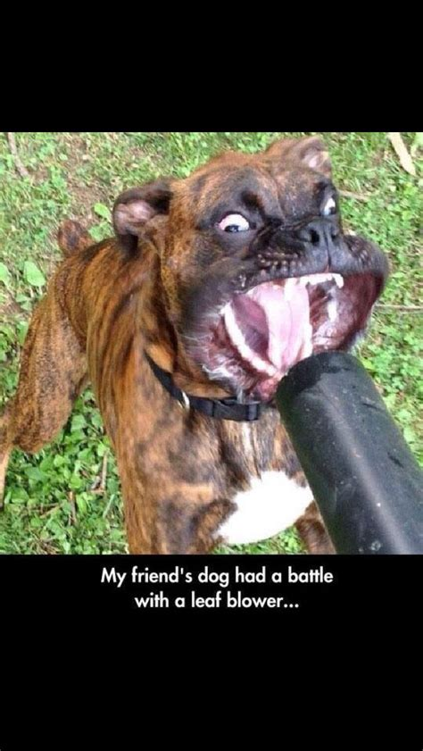 epic couldnt stop laughing boxer boxer breed