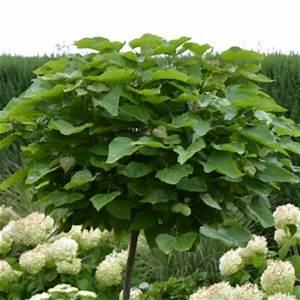 Pflanze Mit Großen Blättern : robuste kleinkronige b ume f rs siegerland hausbaum ~ Michelbontemps.com Haus und Dekorationen
