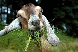 California Ventura County Fire Department is releasing hundreds of goats next week north of Los Angeles to eat dead brush that could become fuel for a fires….