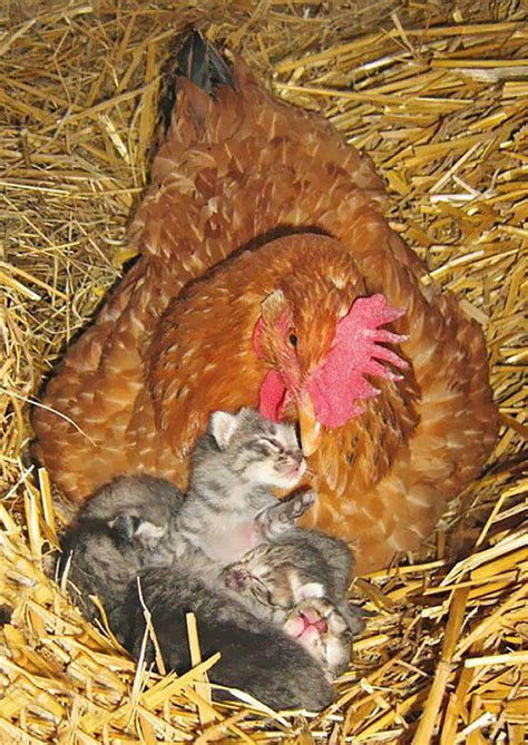 P Os Proving That Hens Are The Best Moms In The Animal Kingdom