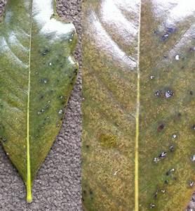Braune Blätter Am Rhododendron : rhododendron filigran rhododendron ponticum filigran ~ Lizthompson.info Haus und Dekorationen