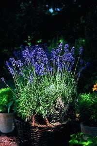 Lavendel Im Topf überwintern : lavendel pflanzen tipps zur richtigen pflege im garten oder im topf purple flowers and ~ Frokenaadalensverden.com Haus und Dekorationen