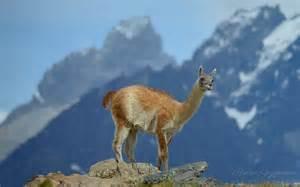 Torres Patagonia Chile Wildlife