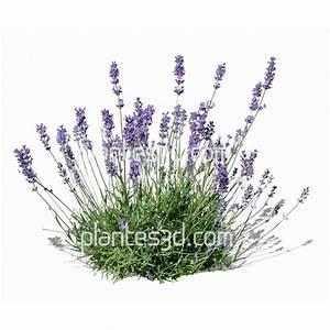 Plant De Lavande : lavandula angustifolia d tour e lavande 3d ~ Nature-et-papiers.com Idées de Décoration