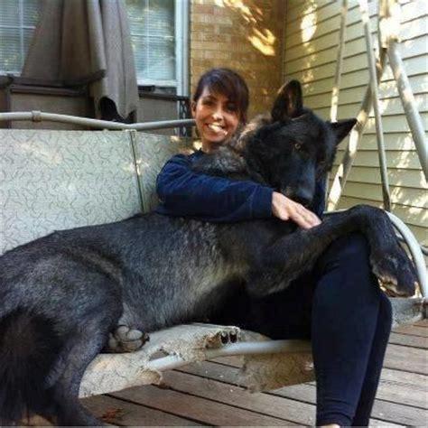 wolf hybrid black wolf hybrid mind melt pinterest beautiful black wolves and one day