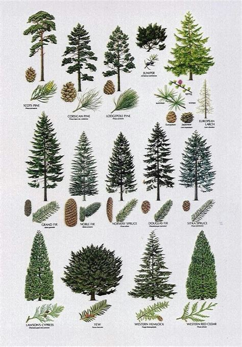 pine tree identification uk related keywords suggestions
