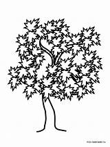 Maple Tree Coloring Pages Drawing Oak Trees Printable Willow Weeping Getdrawings Silhouette Getcolorings Clipartmag Recommended Colors sketch template