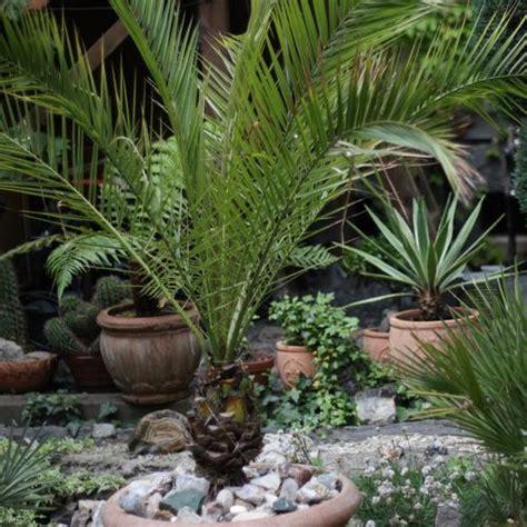 arbuste persistant en pot resistant au froid 28 images the la palmeraie des alpes palmiers r