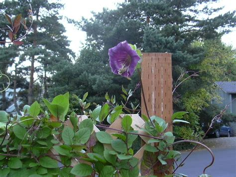 cathedral bells vine rainy day gardening perennials cobaea scandens a k a cup and saucer vine or cathedral bells